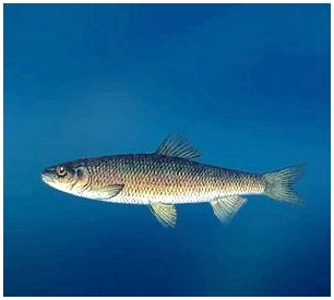 Рыба Кутум