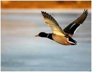 Охота нагоном на гуся