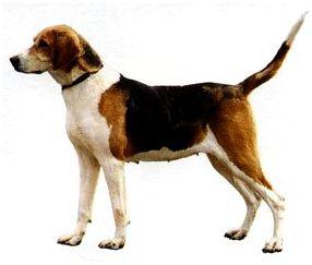 Русская пегая гончая собака