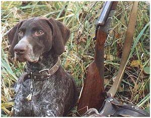Охотничьи подружейные собаки