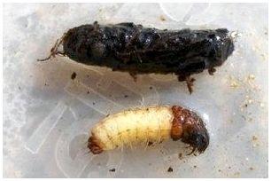 Ручейник (Trichoptera) шитик