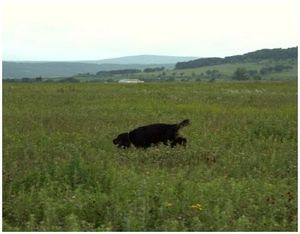 Правила испытаний легавых собак по болотно-луговой дичи