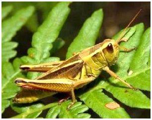 Кузнечик (Tettigonia viridissima)