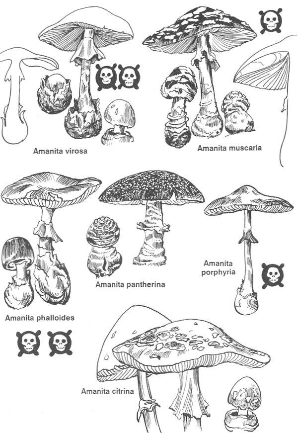 РИС. 80. Ядовитые мухоморовые грибы