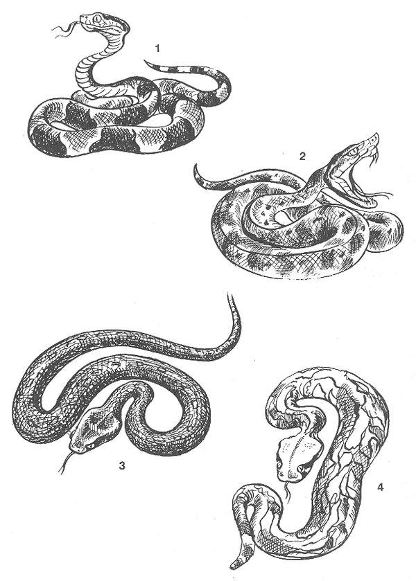 РИС. 84. Ядовитые змеи: 1 - мокасиновая змея (Ancistrodon contortrix), 2 - копьеголовая куфия (Trimeresurus Lanceolatus), 3 - эфа (Echis carinatus), 4 - гадюка габонская (Bitis gabonica)