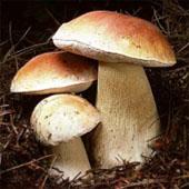 Белый гриб. Питание в тайге. Выживание в экстремальных условиях - Trasa.Ru