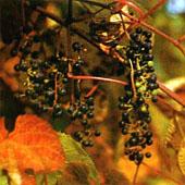Виноград амурский. Питание в тайге. Выживание в экстремальных условиях - Trasa.Ru