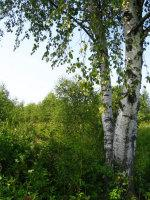 Какие растения помогут туристу или грибнику ориентироваться на местности?