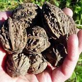 Орех без зеленой кожицы. Питание в тайге. Выживание в экстремальных условиях - Trasa.Ru