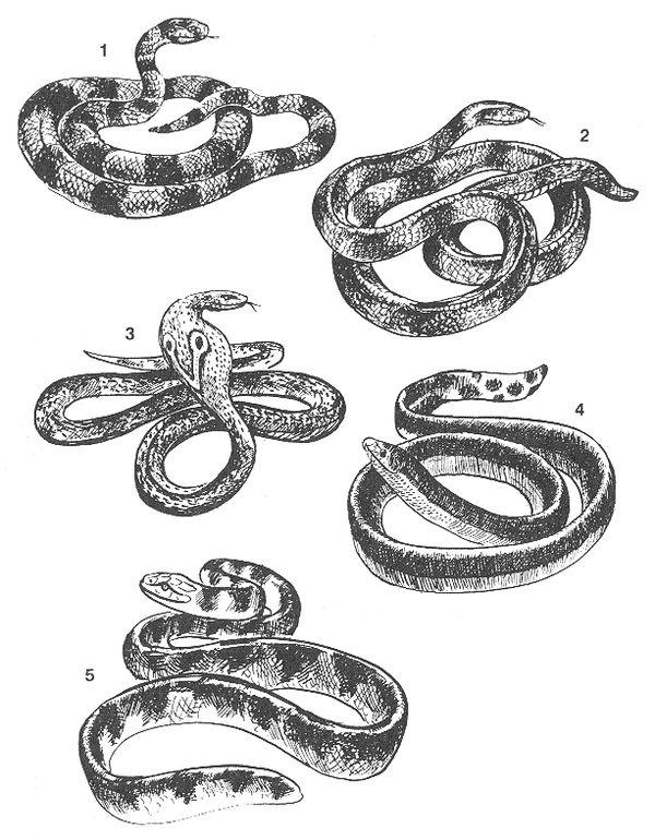 РИС. 83. Ядовитые змеи: 1 - коралловый аспид (Elaps corallinus), 2 - бунгара-пама (Bungarus fasciates), 3 - очковая змея, кобра (Naja tripudians). 4 - двухцветная пеламида (Hydrus bicolor), 5 - ластохвост синеполосный (Distira cianocineta)