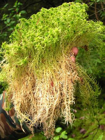 Болотное растение - сфагнум. Практическое применение